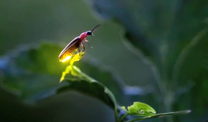 How fireflies inspired energy-efficient LEDs