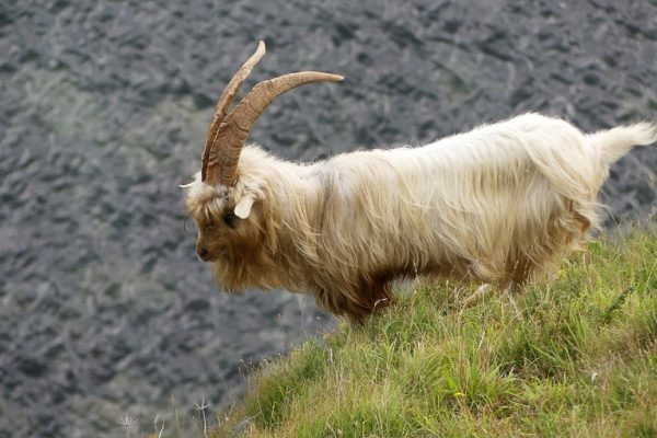 Kashmiri Goats