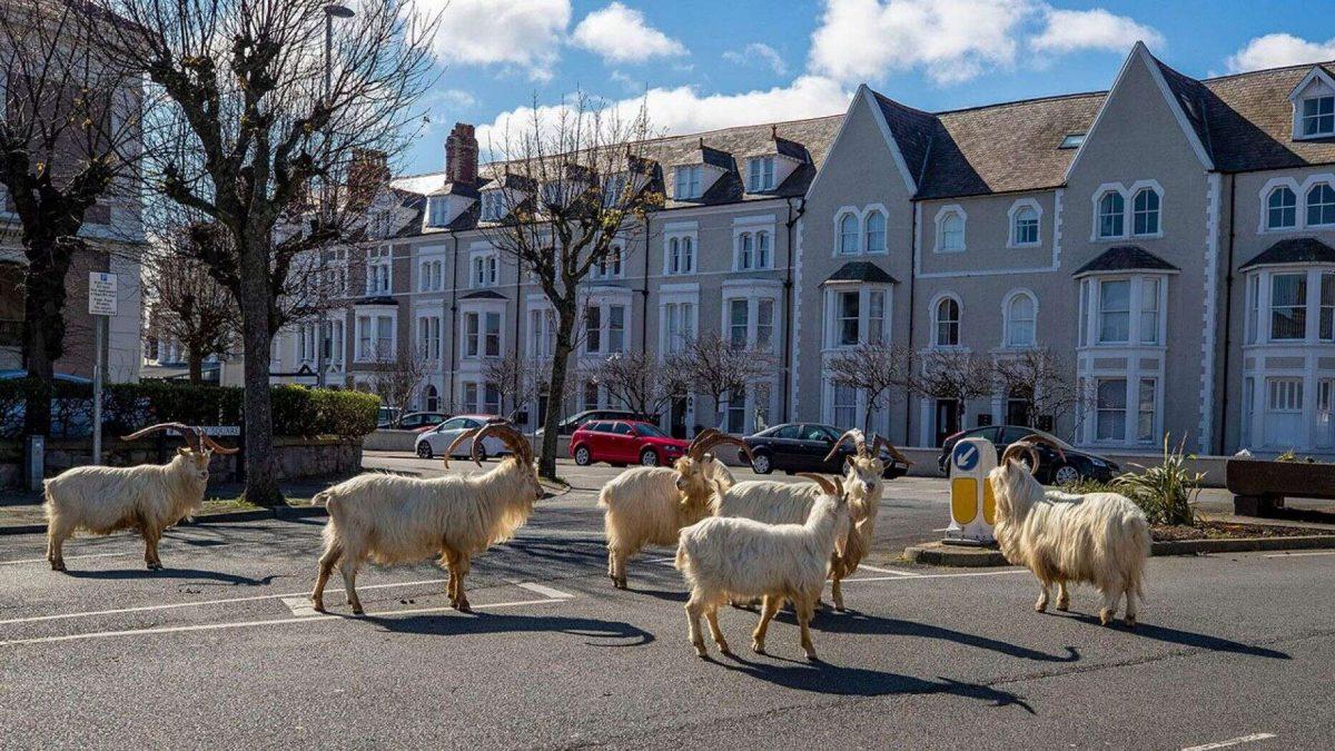wales-Mountain goats 1