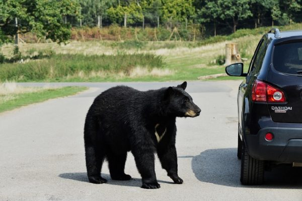 Bear in the Car